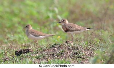 Oriental Plover Charadrius veredus Beautiful Birds of...