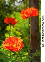 oriental poppy 16
