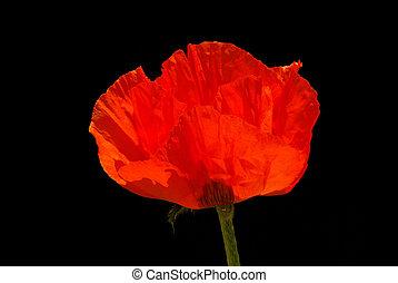 oriental poppy 18