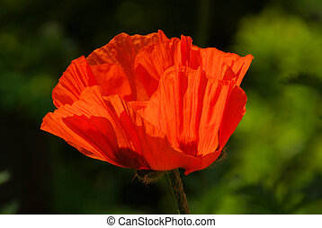 oriental poppy 19