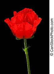 oriental poppy 22