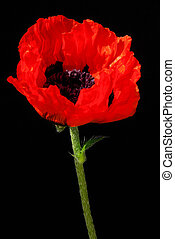 oriental poppy 24