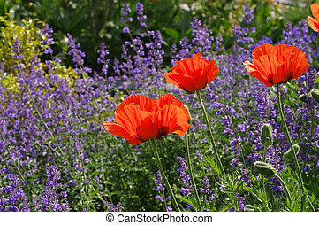 oriental poppy and catmint