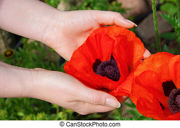 oriental poppy in hands 01