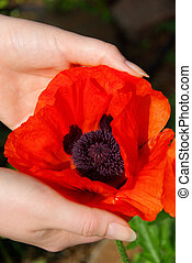 oriental poppy in hands 03