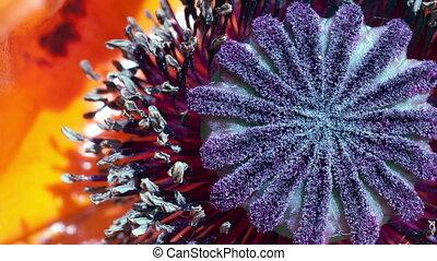 Oriental poppy (Papaver orientale) - Oriental poppy (The...