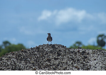 Oriental Pratincole bird on the ground.