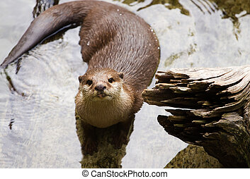 Oriental Short-Clawed Otter (amblonyx cinereus) swimming