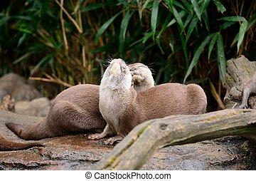 Oriental short clawed otter (aonyx cinerea)