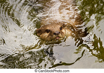 Oriental small-clawed otter, Asian small-clawed otter swiming