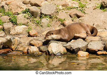 Oriental Small-Clawed Otter resting