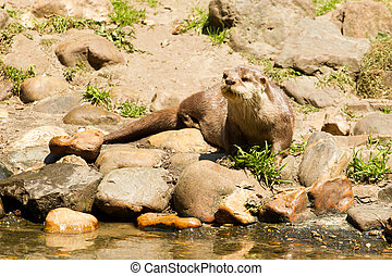 Oriental Small-Clawed Otter