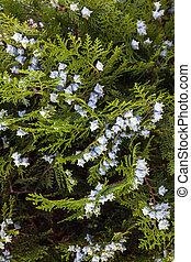 Oriental thuja (Platycladus orientalis) branches with blue cones.
