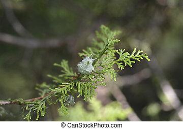Oriental thuja - Latin name - Platycladus orientalis (Thuja orientalis)