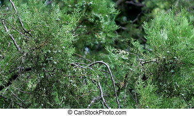 oriental thuja - close-up oriental thuja (Platycladus...