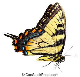 oriental, tiger, borboleta swallowtail