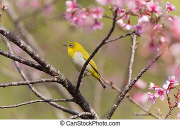Oriental White-eye bird