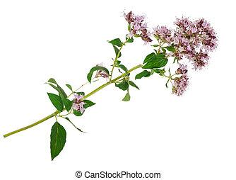 origanum, medizinisch, vulgare, plant:
