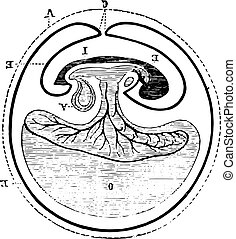 origem, vindima, allantoic, engraving.