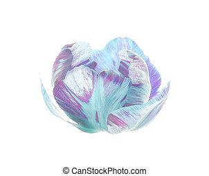 Original exotic blue tulip flower isolated