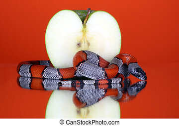 Snake coiling around an apple on a orange background