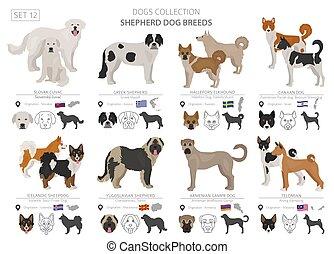 origine, berger, herding, plat, couleur, pays, isolé, collection, chiens, white., style., différent