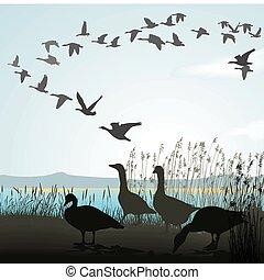 orilla, gansos, lago, emigrar