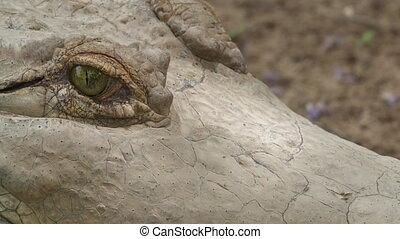 Orinoco Crocodile Blinking Eyes, Colombia - Extreme close-up...