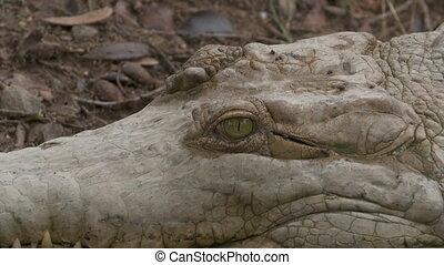 orinoco, crocodile, gros plan, oeil, colombie