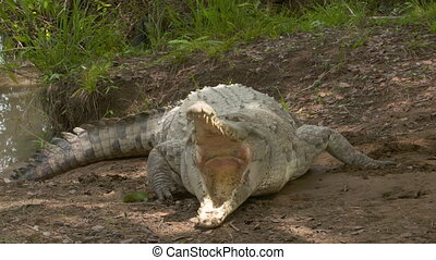 Orinoco Crocodile Open Jaws When Hit, Colombia - Close-up...
