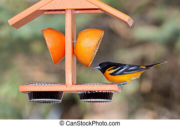 Oriole and Grape Jelly - A baltimore oriole sits atop an...