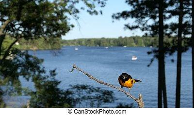 Oriole male (Icterus galbula) lands on lakeside perch then flies away.