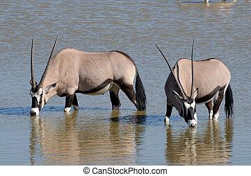 Orix (Gemsbok) drinking water, Okaukeujo waterhole, Etosha...