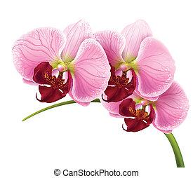 orkidé, blomma, filial, vektor, isolerat, bakgrund