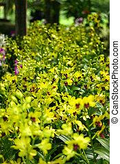 orkidé, blomningen