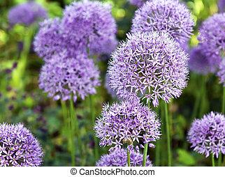 The large purple flowers of ornamental garlic