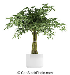 Ornamental bambpoo houseplant in a white ceramic pot with several canes tioed together to produce a pretty leafy crown isolated on white