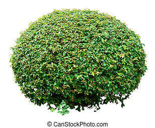 Ornamental bush - Round ornamental bush isolated on white...