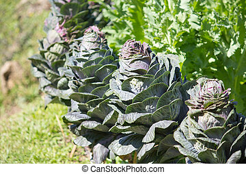 Ornamental cabbage in a garden