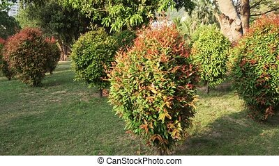 Ornamental Clipped Deciduous Shrub in tropical park -...