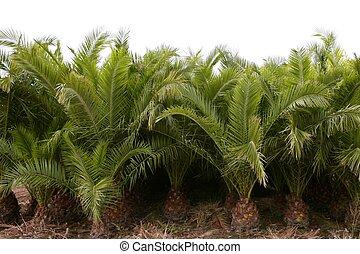 ornamental, filas, árboles, plantación, palma, agricultura