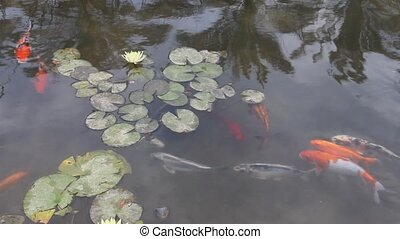 Ornamental fish in the pond