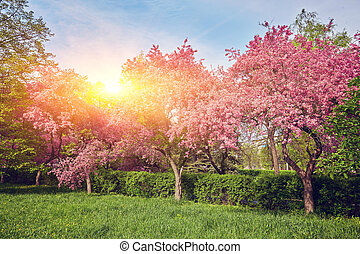 Ornamental garden with majestically blossoming large cherry trees