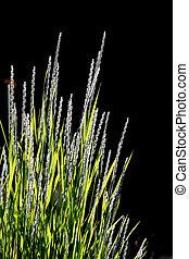Ornamental grass against black background