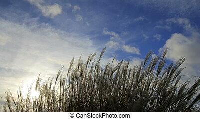 Ornamental Grass on a Breezy Day - Ornamental Grass with...