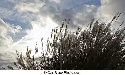 Ornamental Grass on a Windy Day - Ornamental Grass with...