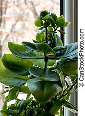 Ornamental green leafy houseplant growing in a pot on a...