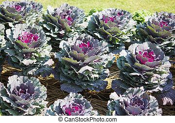 ornamental, kål, Trädgård