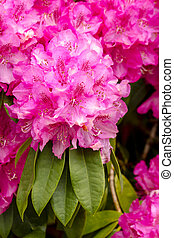 Close up of bright pink Rhododendron blossoms in bloom on bush