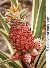 Ornamental pineapple plant - Dwarf variegated pineapple...